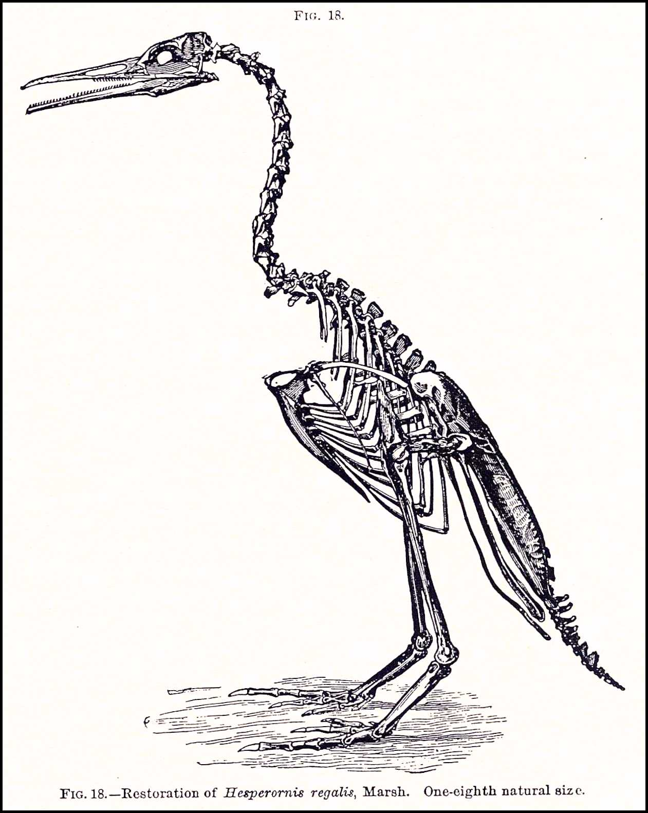 Cormorant Flying Drawing