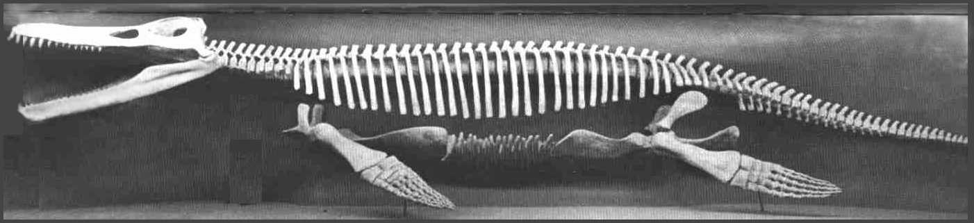 Elasmosaurus Skeleton File:Kronosaurus scale...