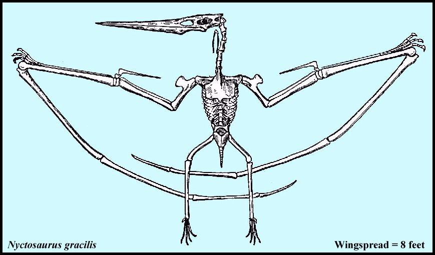Teradactyl Dinosaur Skeleton Drawing of the skeleton of