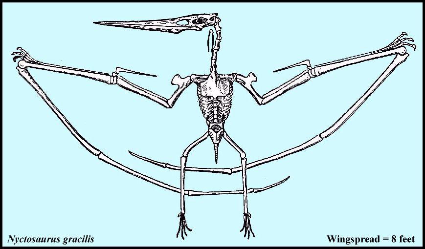 Teradactyl Dinosaur Skeleton Drawing of the skeleton of