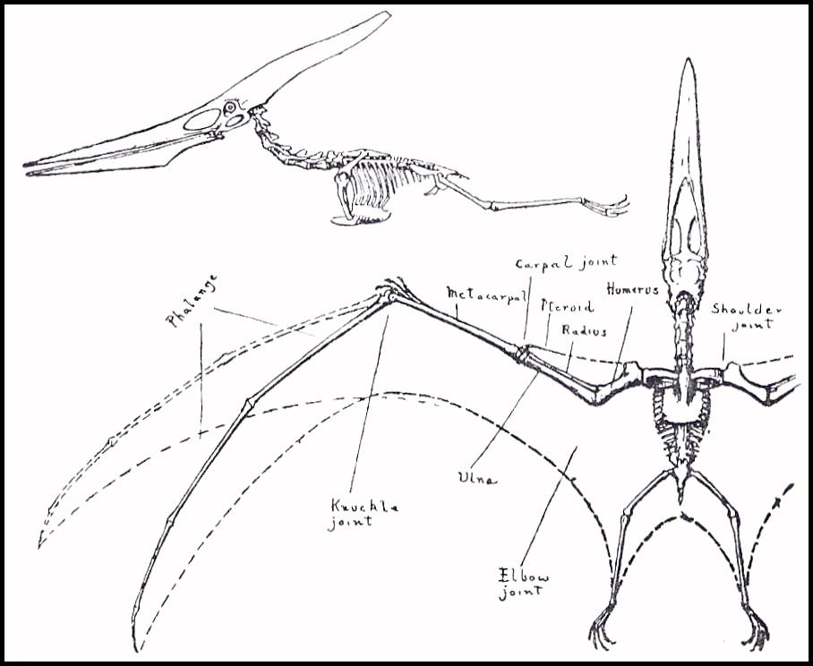 Pterodactyl Skeleton Drawing On the flight of pterodactyls.