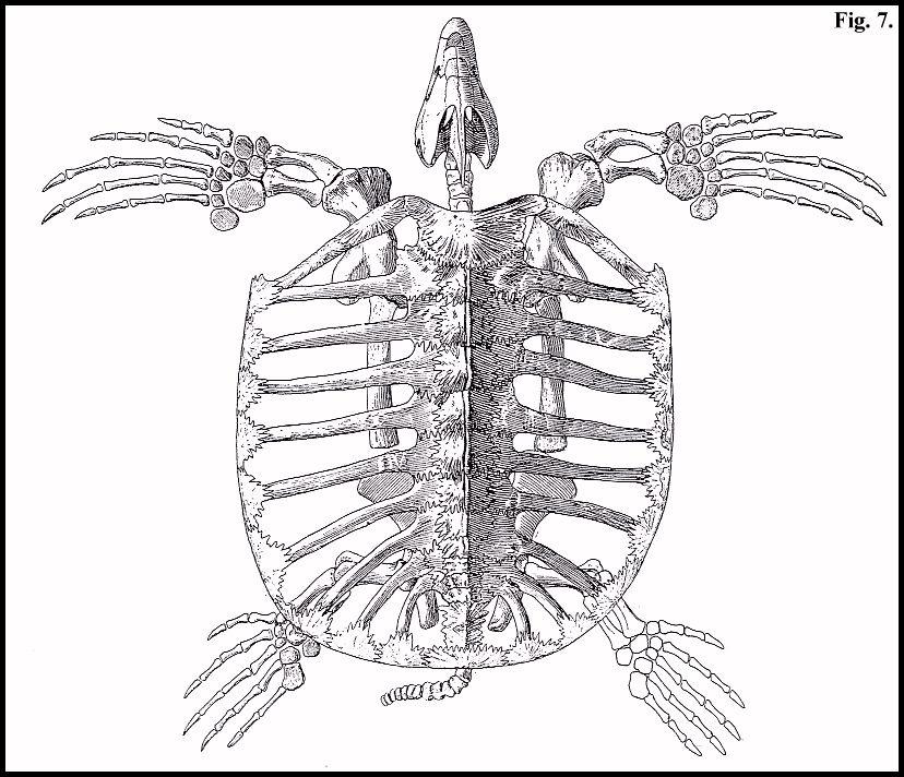 Styxosaurus Skeleton
