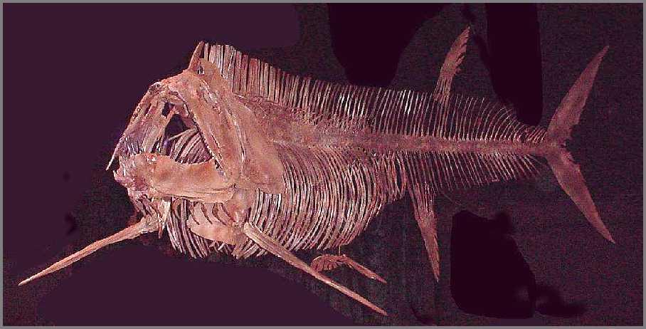 Xiphactinus audax Leidy