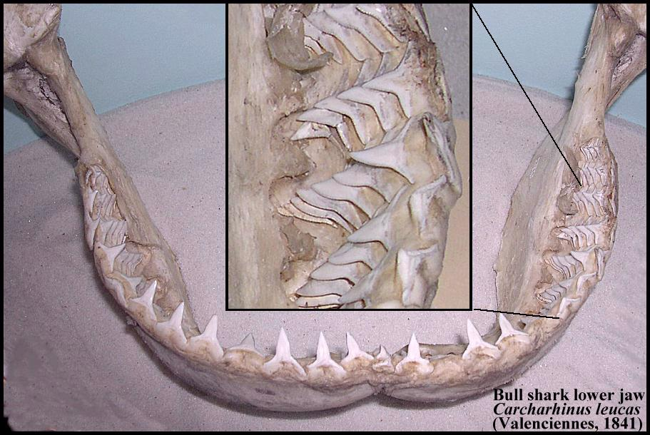 shark teeth rows. by which shark teeth are